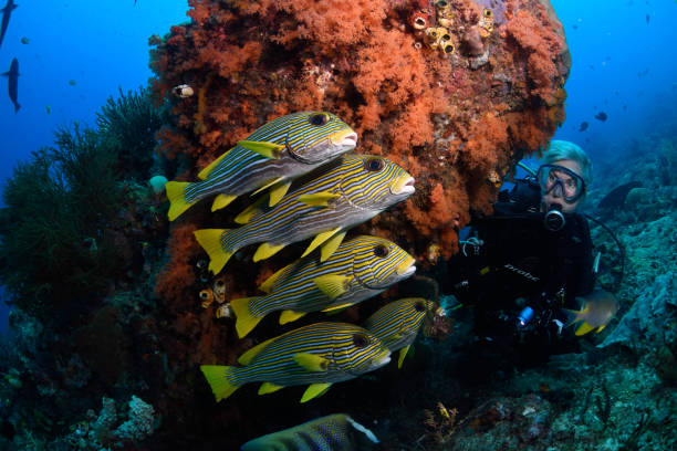Diver and Ribboned Sweetlips, Raja Ampat, Indonesia