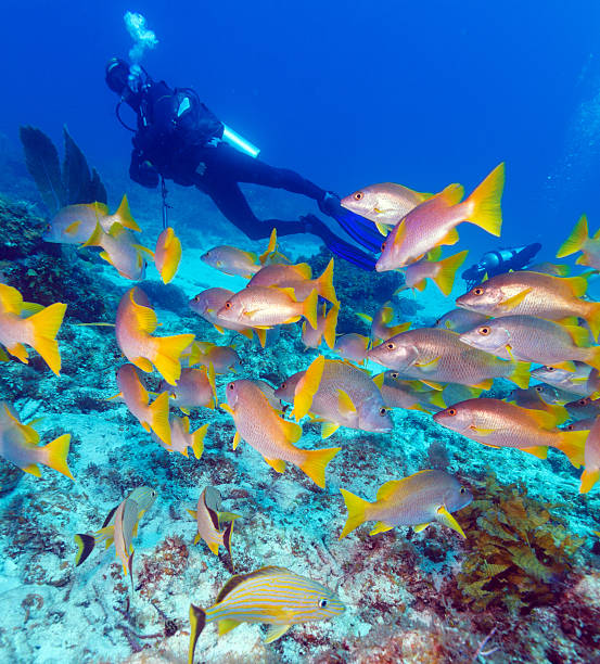 Diver and School of Snappers, Cuba stock photo