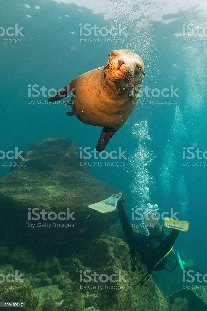 Diver approaching sea lion family stock photo