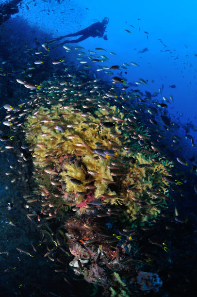 diver exploring the ss yongala shipwreck, townsville, great barrier reef, australia - wreck of the ss yongala stock pictures, royalty-free photos & images