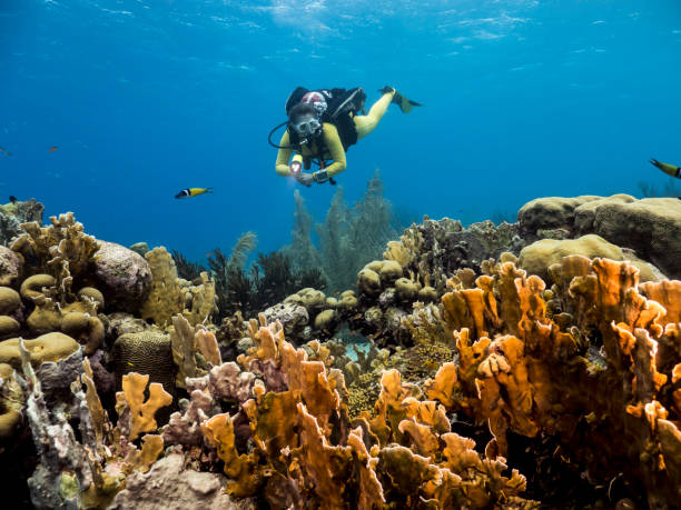 Diver girl at the coral reef in the Caribbean Sea around Curacao with hard coral in foreground stock photo
