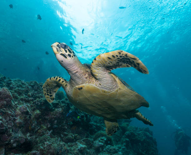 Diver in rare underwater encounter with Critically Endangered Hawksbill Sea Turtle (Eretmochelys imbricata) stock photo