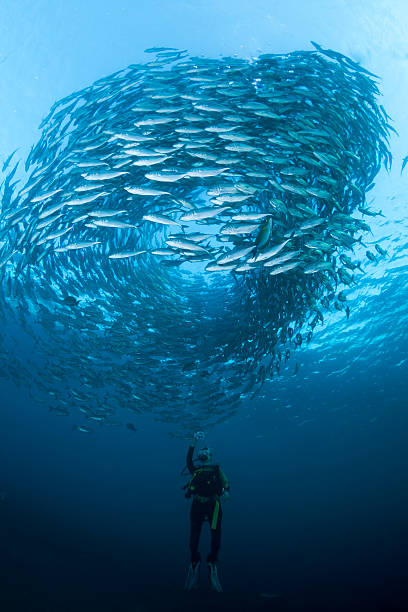 Diver with a school of Jacks fish in a blue sea stock photo