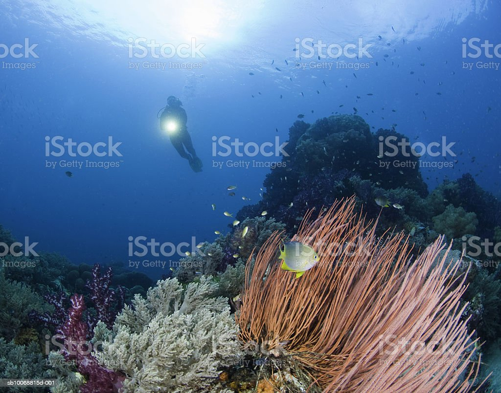 Diver with flashlight swimming above reef, underwater view foto de stock royalty-free