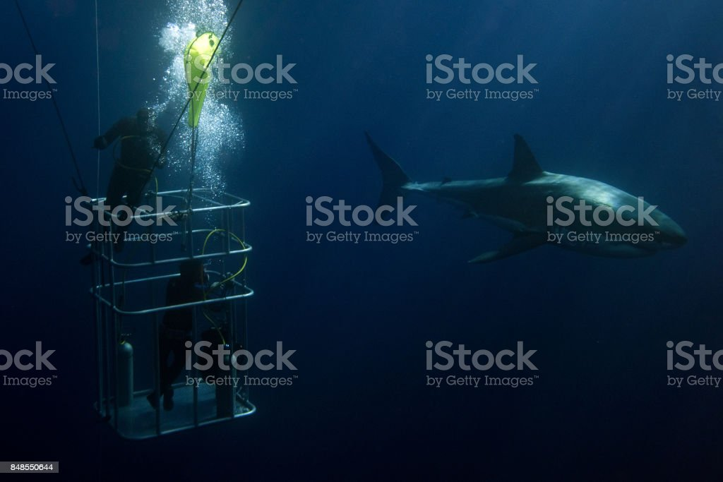 Divers in a cage with Great White shark underwater stock photo