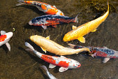 Diverse group of Japanese Koi swim together in complete harmony. This was photographed in the pond at Fashion Island mall in Newport Beach, CA.