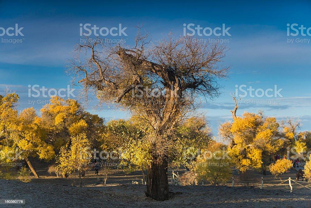 Diversifolious poplar trees royalty-free stock photo