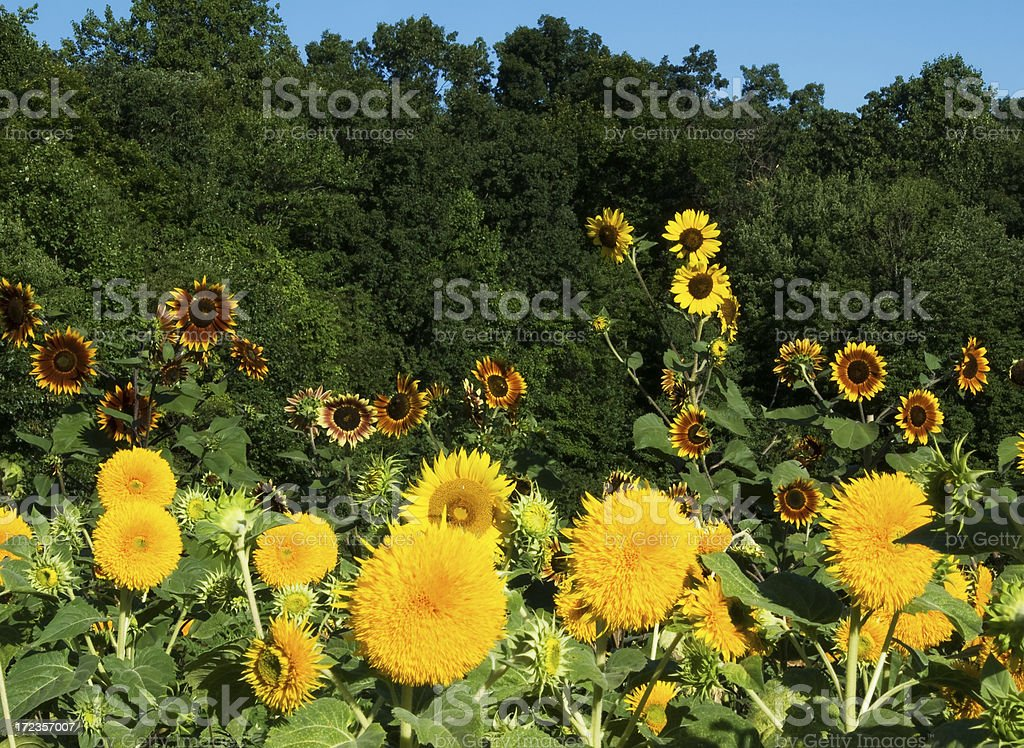 Diversity In The Sunflower World royalty-free stock photo