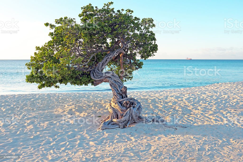 Divi divi tree on Aruba island in the Caribbean stock photo
