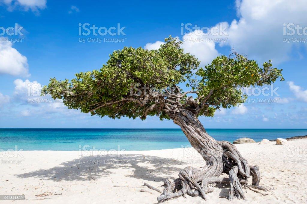 Divi Divi Tree on Eagle Beach Aruba, Caribbean stock photo