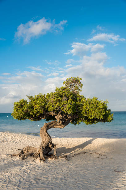 Divi divi Baum auf der Insel Aruba – Foto
