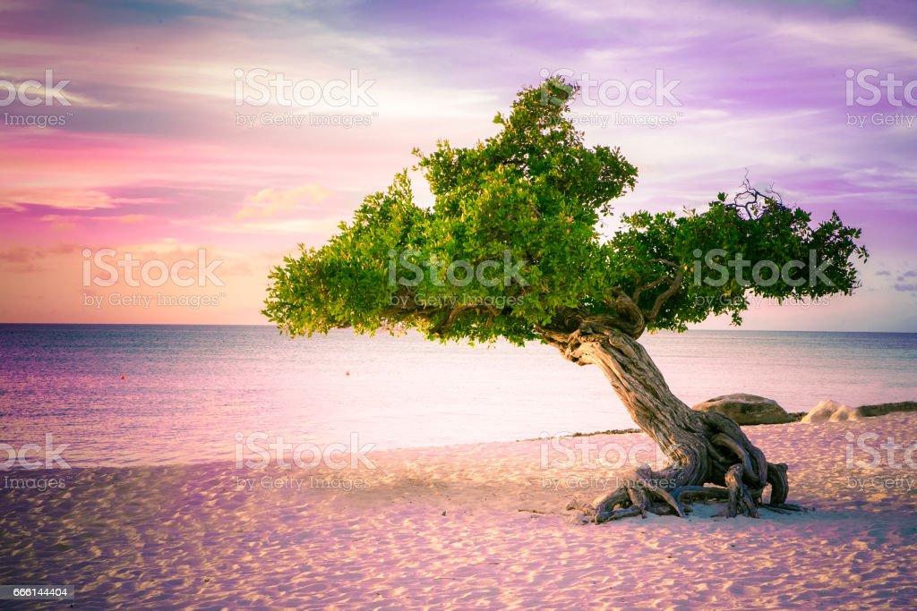 Divi Divi Tree stock photo