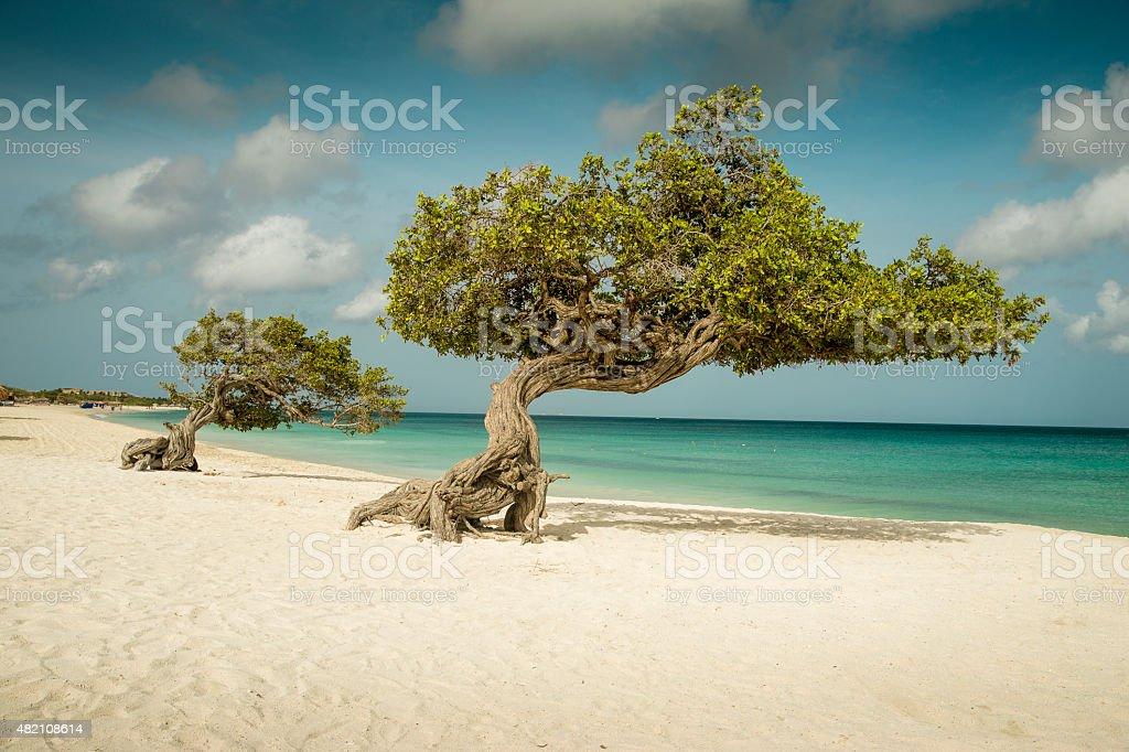 Divi divi trees on Eagle beach - Aruba island stock photo