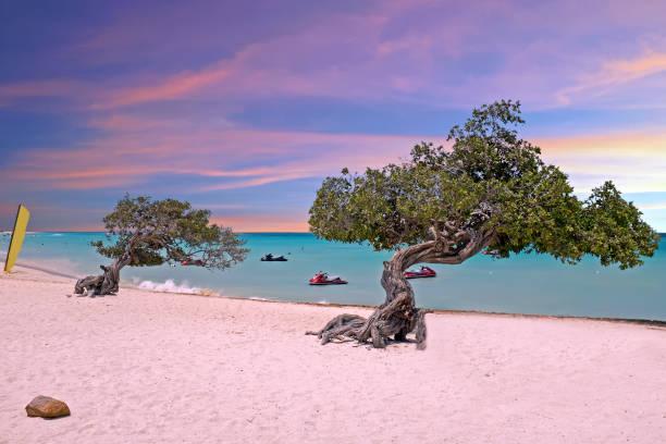 divi divi bomen op eagle strand van aruba island bij zonsondergang - aruba stockfoto's en -beelden