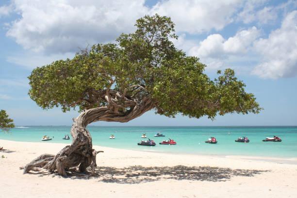 boom van divi aruba - aruba stockfoto's en -beelden