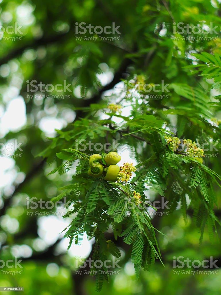 divi-divi or Caesalpinia coriaria stock photo