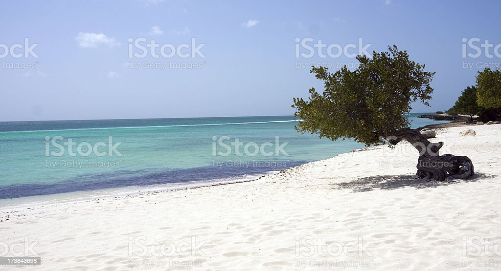 Dividivi tree Aruba stock photo