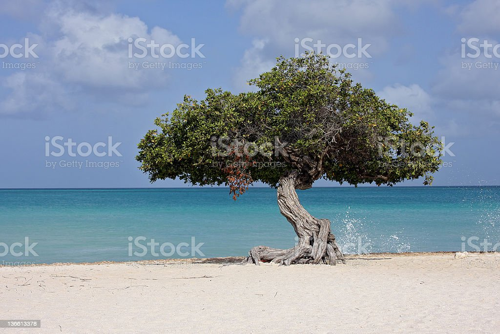 divi-divi tree in aruba stock photo