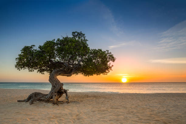 dividivi boom in aruba - aruba stockfoto's en -beelden