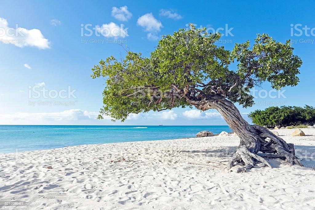 Dividivi Drzewo na Arubie island na Karaibach – zdjęcie