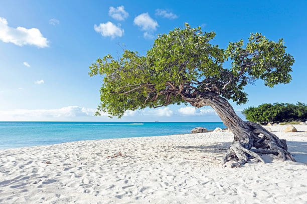 dividivi tree on aruba island in the caribbean - aruba stockfoto's en -beelden