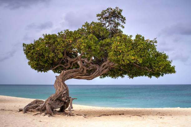 Divi-Divi Baum am Eagle Beach, Aruba – Foto