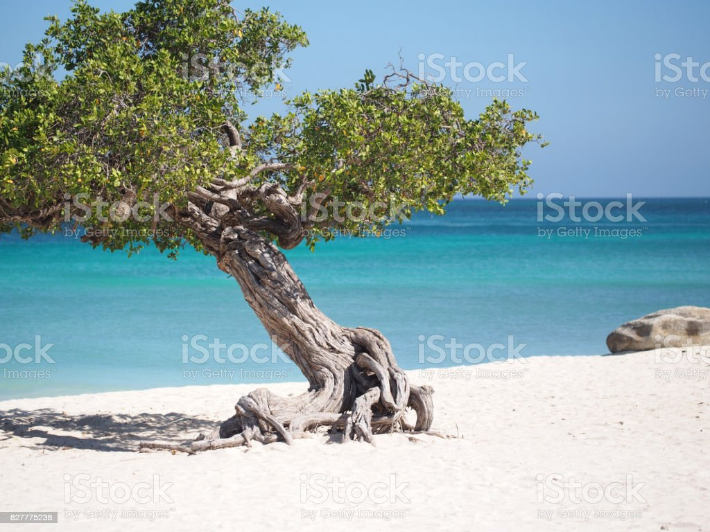 DiviDivi Tree stock photo
