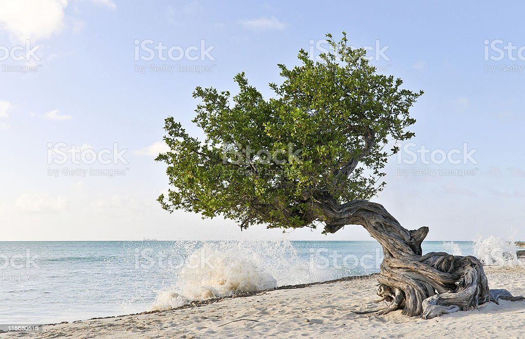Divi-Divi Treein Aruba stock photo