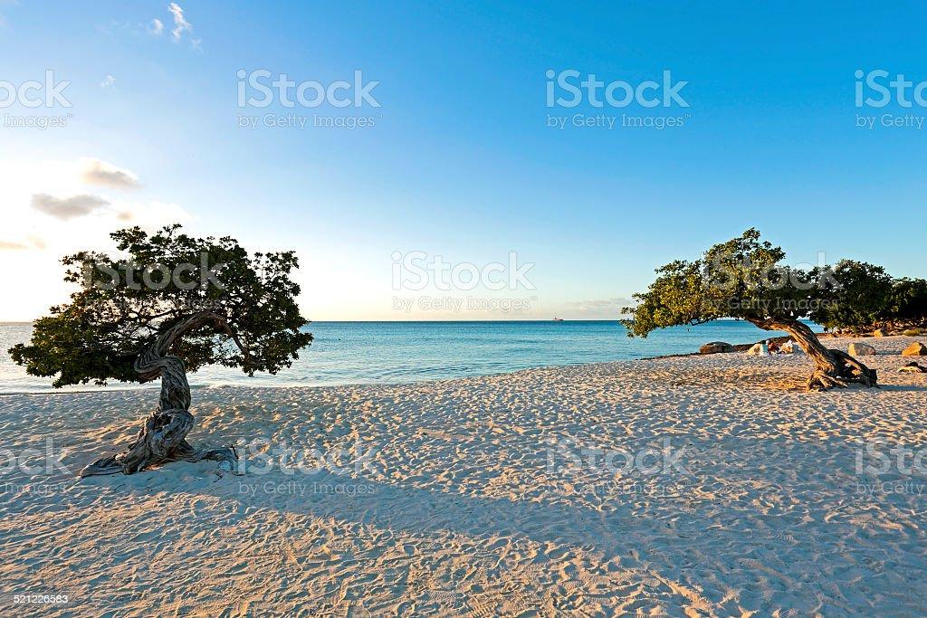 Dividivi trees on Aruba island at sunset in the Caribbean stock photo
