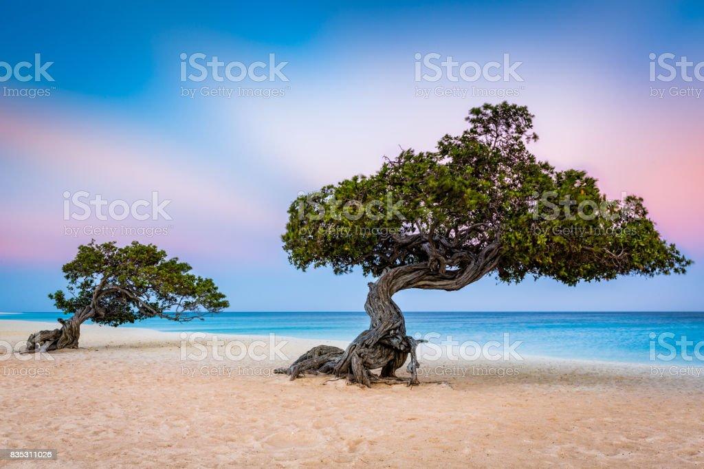 Divi-Divi trees on Eagle Beach in Aruba stock photo