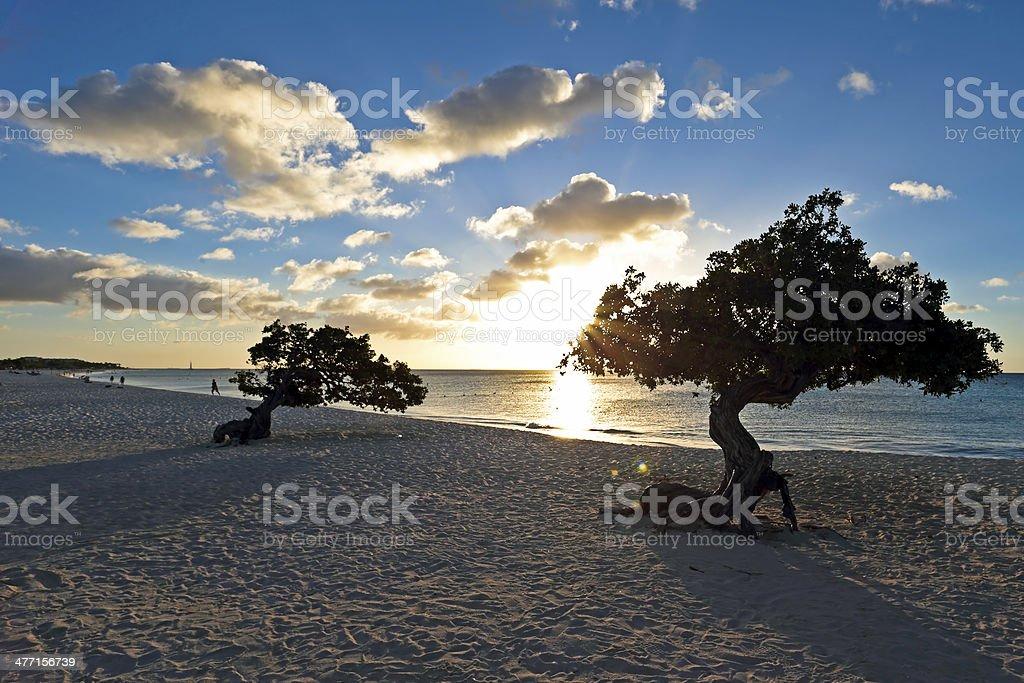 Dividivi treeson Aruba stock photo