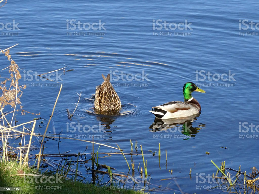 Diving Duck pair in evening light stock photo