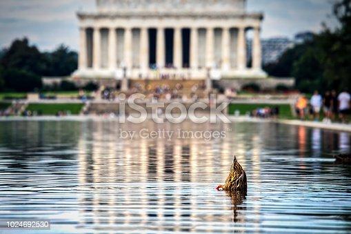 istock Diving Duck 1024692530