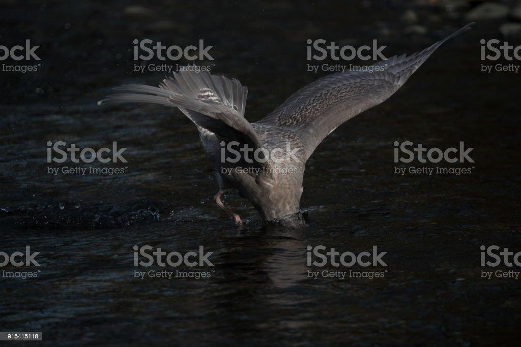 Diving Gull stock photo