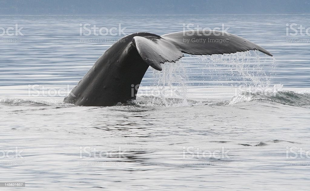 Diving humpback whale tail in Alaska royalty-free stock photo