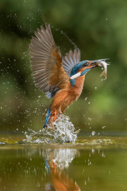 Diving Kingfisher Kingfisher diving in Suffolk, England. kingfisher stock pictures, royalty-free photos & images
