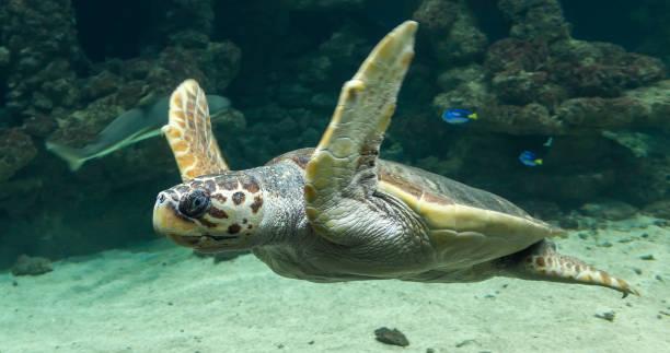 mergulho tartaruga (caretta caretta) - concha parte do corpo animal - fotografias e filmes do acervo