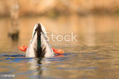 istock Diving Mallard 119725192