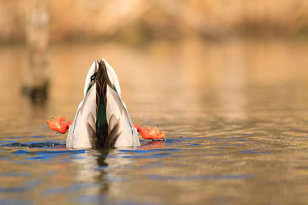 Diving Mallard  head in the sand stock pictures, royalty-free photos & images