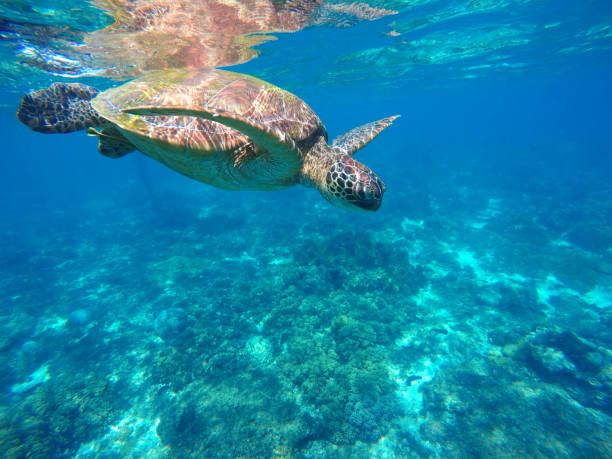 Diving sea turtle in blue water. Green sea tortoise close photo. apothegm stock pictures, royalty-free photos & images
