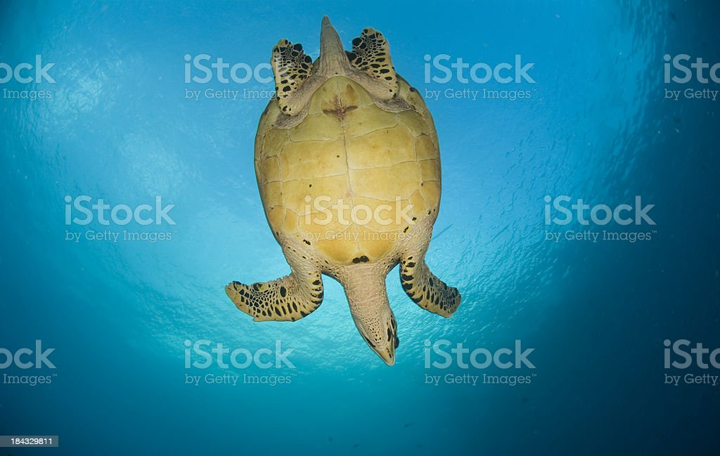 diving turtle stock photo