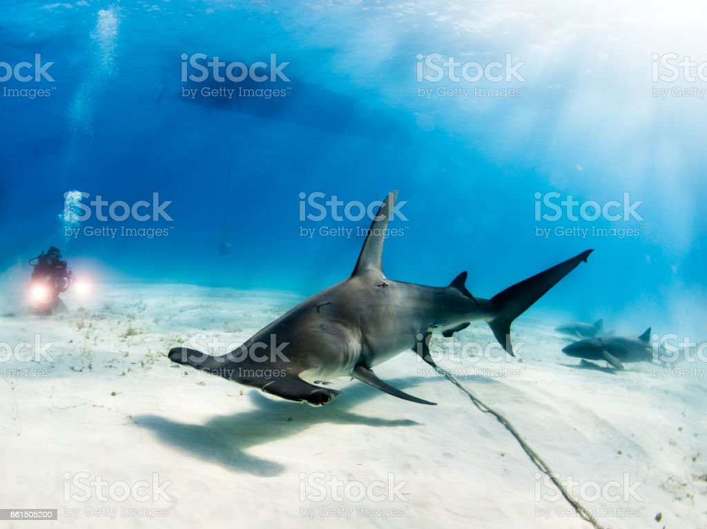 Diving with Hammerhead Shark stock photo