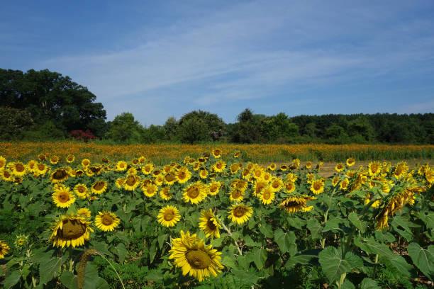 Dix Park sunflowers stock photo