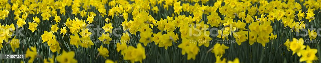 Dizzy Daffodils royalty-free stock photo