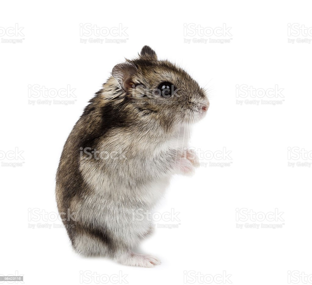 Djungarian, Russian Dwarf Hamster, Phodopus sungorus royalty-free stock photo