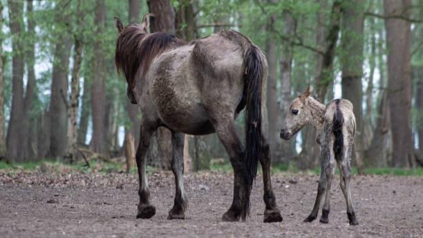 Dülmener Wildpferd mit Fohlen – Foto