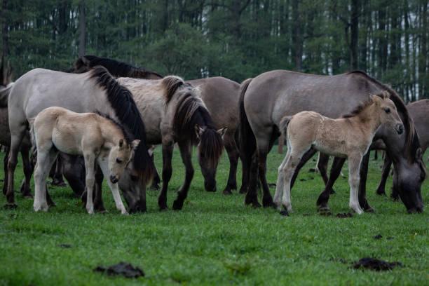 Dülmener Wildpferde – Foto
