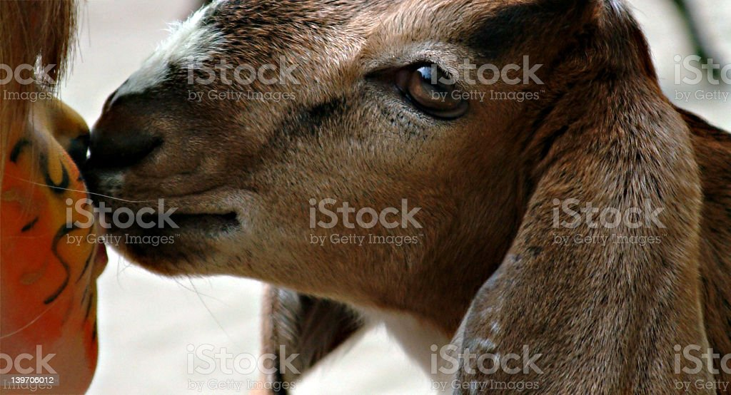 Do I kiss tigers? (2) royalty-free stock photo