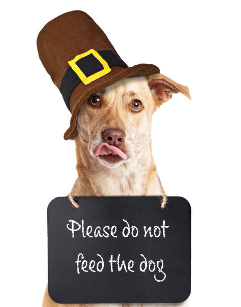 "Do Not Feed Dog on Thanksgiving Hungry dog wearing ""Please do not feed the dog"" sign around neck wearing Thanksgiving Pilgrim hat thanksgiving pets stock pictures, royalty-free photos & images"