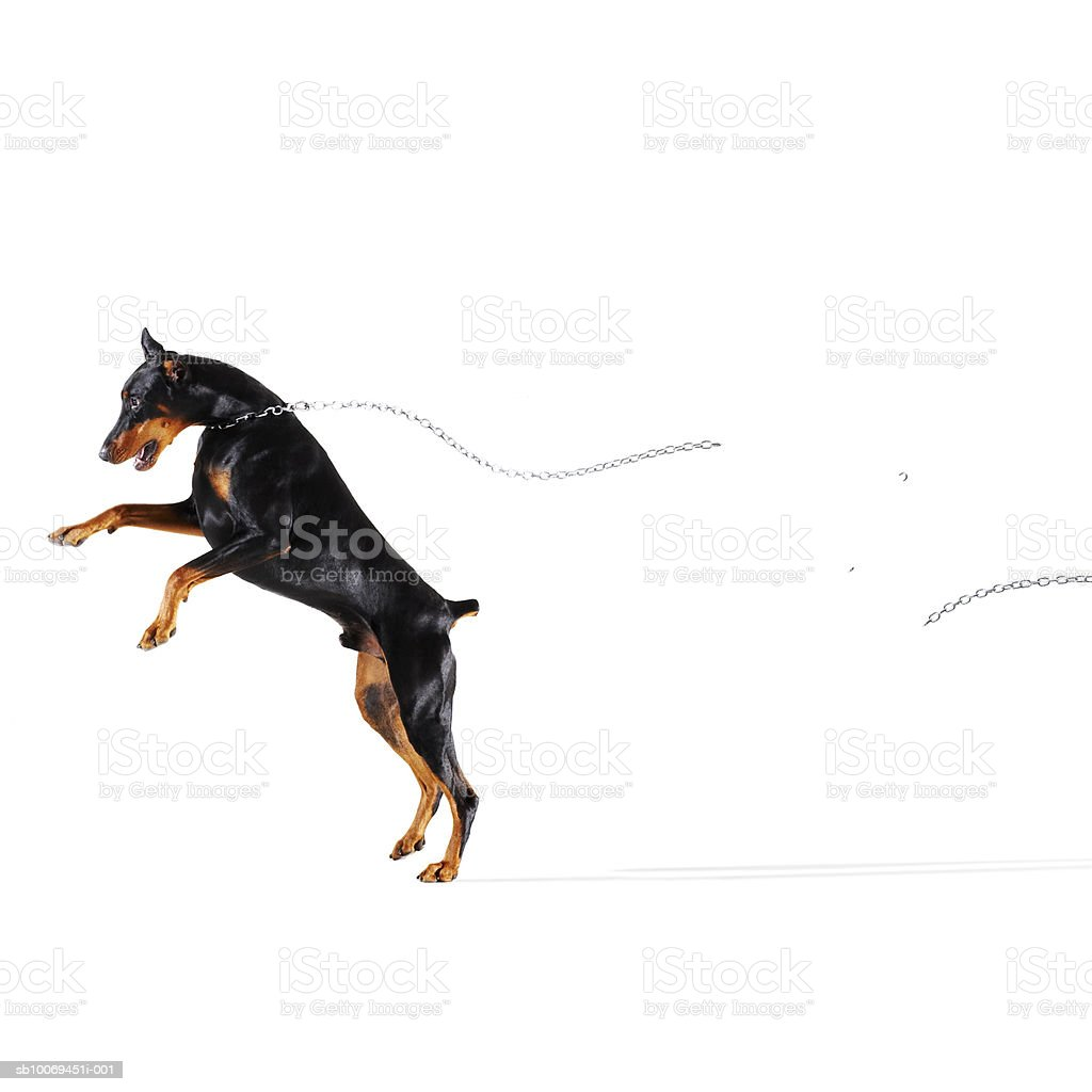 Doberman breaking chain and running away royalty-free stock photo
